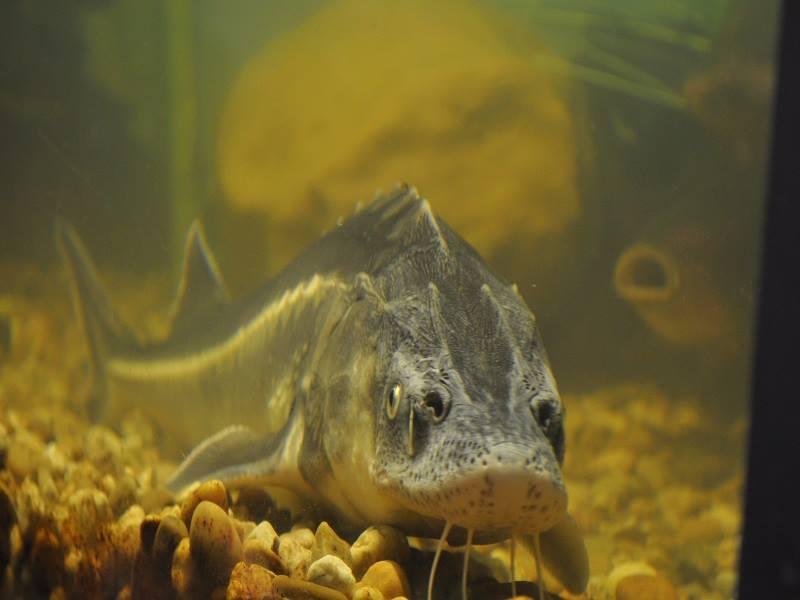 rybomania jesiotr
