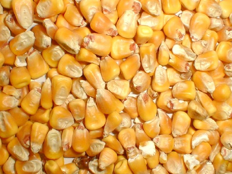surowa kukurydza