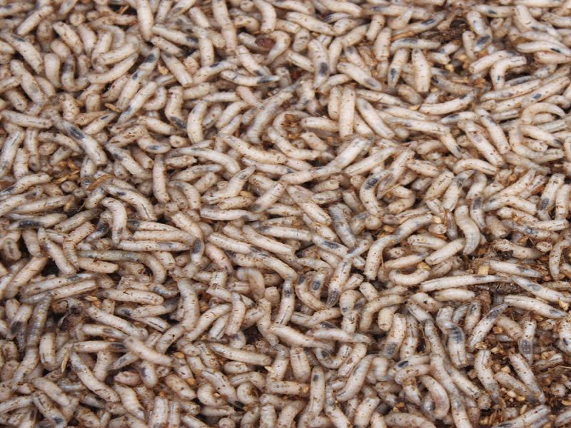 białe robaki na karpia